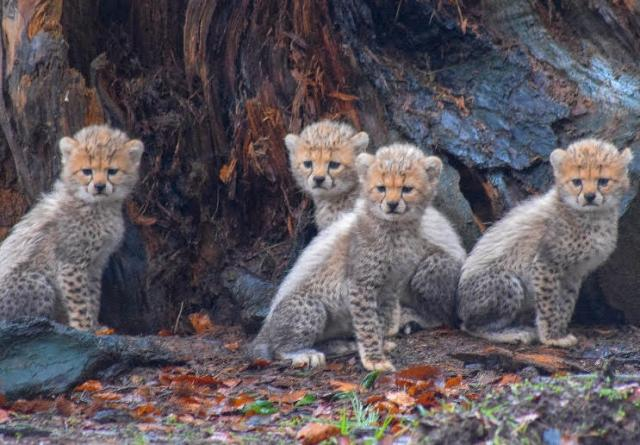 Fota Wildlife Park welcomes 4 adorable cheetah cubs - and they need names