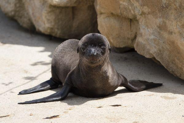 Dublin Zoo announces the birth of three adorable sea lion pups