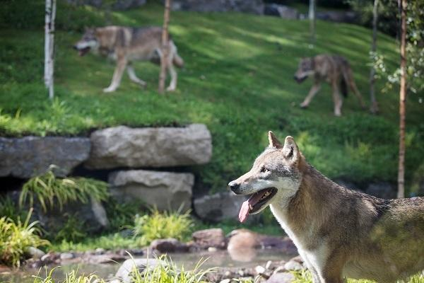 Dublin Zoo opens new Wolves In The Woods habitat and we cant wait to visit