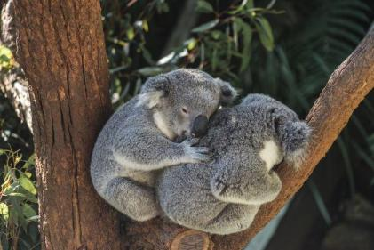 Australia fires: Things you can do to support people and animals