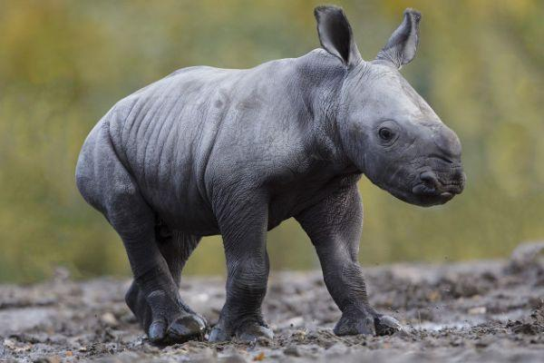 A rhino calf has been born at Dublin Zoo and he is too adorable