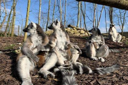Tayto Park announces the birth of adorable twin Lemurs
