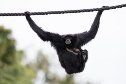 The cuteness! An endangered Siamang Gibbon has been born at Dublin Zoo