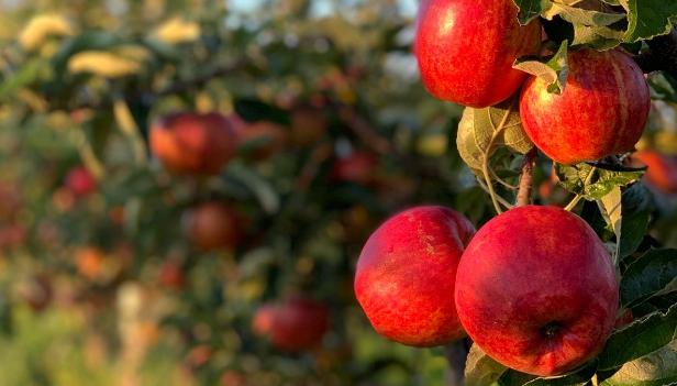 Apples: what's so good about an apple a day?