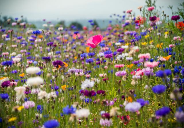Keelings aim to scatter 100,000,000 wildflower seeds in Ireland this summer