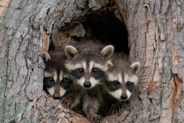 Family Of Raccoons Rescue Their Cub By Using Some Crafty
