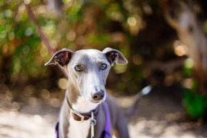 The Ferraris of the dog world! Why greyhounds make the best family pet